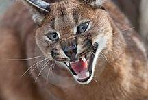 Wild cats/Caracal