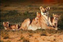 Wild cats/Lionesses