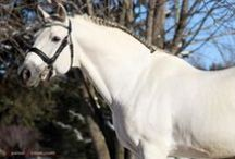 Andalusians / by Micki Sowell