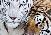 Big Cats / by Micki Sowell