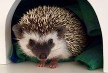 Hedgehog / O ouriço pigmeu africano, ou hedgehog em inglês, é da ordem insectívora, família Erinaceidae, gênero Erinaceus e espécie albiventris. Seu nome científico é Ateleryx albiventris.