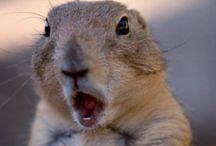 Cão da Pradaria / Cão-da-pradaria Roedor O cão-da-pradaria é um mamífero roedor da família Sciuridae, classificado no género Cynomys. O grupo inclui cinco espécies, todas elas nativas da América do Norte, que habitam as pradarias dos Estados Unidos da América, Canadá e México.   Classificação superior: Sciurinae Classificações inferiores: Cynomys mexicanus, mais