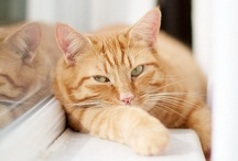 Ginger Cats Stole My Heart