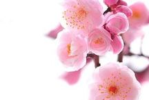 Sakura / Elegant, Elusive, Eternal