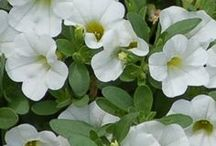 Brilliant Bright Whites / Stark white a trending color of 2014. Let Suntory fill you will inspiration and ideas on how to make your garden pop with brilliant whites. / by Suntory Flowers