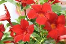 Sun-Sational Sun Parasol / Sun Parasol® is a completely new collection of mandevilla hybrids including the first genuine crimson that stays true to color. Sun Parasol® is known for ease of growing, continuous blooms and disease resistance.   / by Suntory Flowers