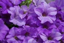 Pleasure of Surfinia Petunias / Surfinia® is a trade mark for a group of Trailing Petunias all raised from cuttings. Surfinia® bloom Continuously all season long and they tolerate rain ,summer heat and wind. Surfinia® is the number one trailing petunia in Europe.   / by The Suntory Collection