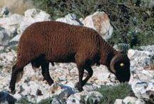 Nuestras ovejas dLana* / Razas de ovejas en España, ¿las conoces todas?