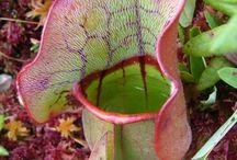 Amassing  killer plants / Φυτά-παγίδες
