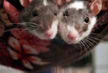 Rodentia / All things rats and mice