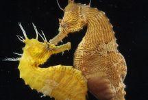 Seahorses, Sealive