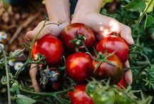Potager - Les tomates / Rouges, jaunes, vertes, noires, découvre la tomate sous toutes ces coutures