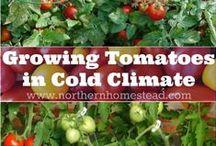 Growing Tomatos / tomater kan samplanteras med  Gräslök, krasse, kålväxter, majs, morot, nässlor, nyzeeländsk spenat, pepparmynta, persilja, purjo, ringblomma, rädisa, rättika, sallat, selleri, sparris, spenat, tagetes (skyddar mot nematoder), vitlök