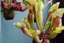 Plante - Les carnivores / Plantes carnivores pour se débarrasser des insectes nuisibles à la maison de façon naturelle.