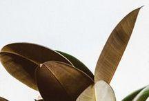 Plantes - Les ficus / Une plante d'intérieur facile à entretenir : le ficus