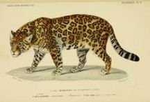 antique illustrations of animals / antique scientific illustrations, paintings and other scribblings of animals, focusing on my favorite species.
