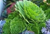 Garden - Succulents / by Mandy Hart