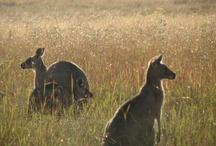 Australian Wildlife / Pictures of Australian Wildlife.