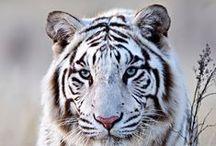 Дикие звери-Wild beast / О представителях живой дикой природы - About representative of the alive wild nature