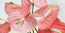 Pretty Pastel Flowers / The most beautiful anthurium flowers, in the most beautiful pastel shades.