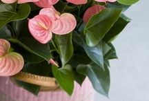 Summer Anthurium / Happy summer! Fill your home with beautiful Anthurium flowers and plants, and the sun will follow.