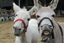 Donkey's / Donkey, Jackass, Ezel, Ane, Burro, Asino, Esel.... all these words refer to a wonderful animal with an opinion of its own!