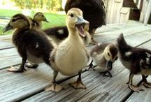 My future chicken (and duck) ideas / Keeping chickens and ducks