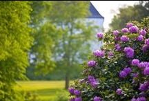 RHODODENDRONHAVEN BLOMSTRER / Parken ved Dragsholm Slot byder på en af Sjællands flotteste rhododendron-bevoksninger. Haven er over 150 år gammel og blomstrer en gang om året.