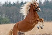 Haflinger Pony / haflingers-the best horses in the world!the most beautiful,clever ponys!They can be riden at dressage,jumping,cross country and at all the western riding.They are very good at tricks too!