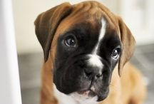Boxer Love / All dogs are pets but Boxers are family!!!!!!!!' / by Jyotsna S Kumar