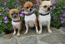 Kadachi FCI / Hodowla Psów Rasowych Chihuahua FCI