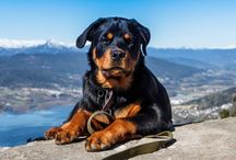 """Rottweilers"" / Home is not a home without a rottie"
