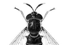 Insect Illustrations / Insect illustrations, pen and ink, pencil, and computer drawings.
