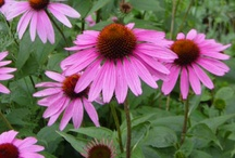 Butterfly Nectar Plants / Plant these flowers to  attract butterflies to your garden.
