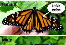 Monarchs / All about monarch butterflies!