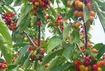 BLACKBIRD FARM CHERRIES / Home grown cherries
