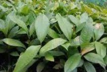 Jual Bibit Tanaman / Situs jual bibit tanaman berkualitas