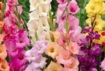 Flowers - Gladiolus