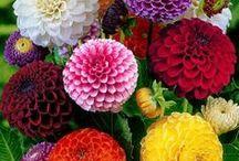 flowers - dahlia - pom pom