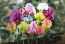 Flowers -Latytrus - sweet peas