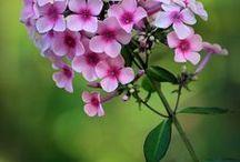 flowers from my gaarden / flowers