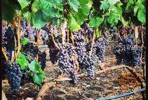 Wine Grapes Italy / http://www.oilwineitaly.com Wine Grapes. Oilwineitaly select the best grapes for the best italian wine.