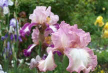 Irises / The best pics from the iriszucht.de - garden