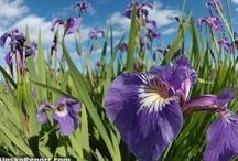 Other irises