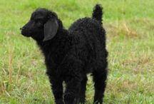 Angora Goats / All of the angora goats at Phoenix Farm contribute their mohair twice per year to Phoenix Farm Fiber