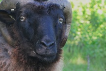 Sheep / At Phoenix Farm, we raise rare, endangered sheep breeds that are loved for their fine wool: Romeldale / CVM, Gulf Coast Native, and Shetland sheep.