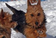 """Australian Terrier's with Natural Tails bred and or shown in the USA / Photo's of Australian Terriers with their Natural Tails in America. Why does the """"US Standard"""" still state docked when the rest of the world does not? There is no reason to cut off parts of our dogs solely to accommodate """"a look"""" or as described in the """"Standard"""" that is clearly outdated. However, there are many good reasons not to cut off the tails of our beautiful Aussies. Let's leave our dogs body parts alone and love them as they were born to be with their tails wagging for all to see."""