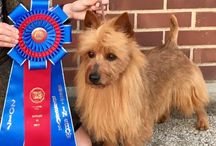 """Multiple Best in Show/MBISS/MRBIS/MBIS-NOHS GCHG Dunham Lake Unanimous Decision """"Jake"""" / #1 Australian Terrier in America.Only red Australian Terrier to ever in the history of the breed to win a multiple Best in Show in the USA."""
