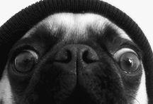 I love Pug ❤️ / Cães