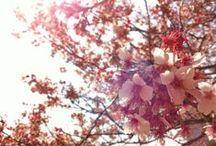 CHERRYBLOSSOM(桜)